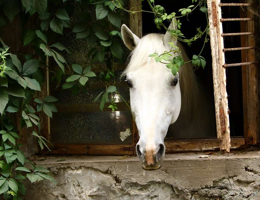 Beautiful white horse at farm looks elegant and tranquil