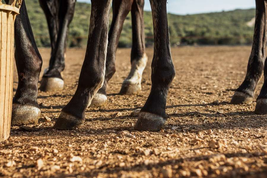 horses hooves are delicate and important