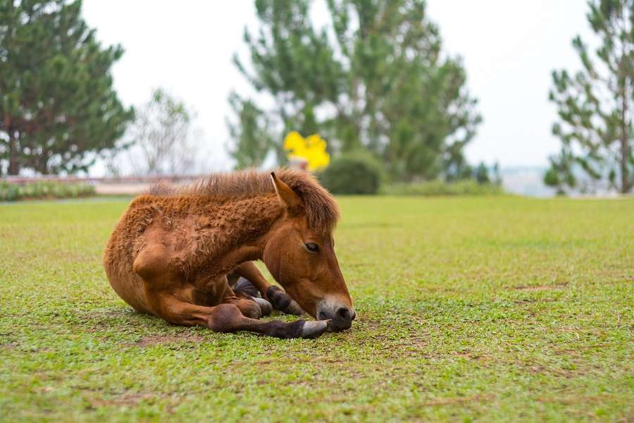 horse laying down in field