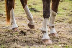 Close up of brown horse legs and hooves.